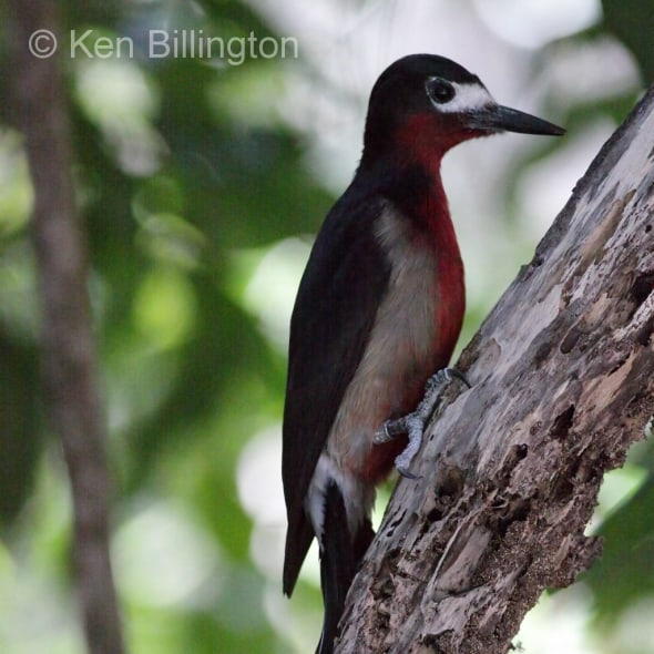 Puerto Rican Woodpecker (Melanerpes portoricensis) (2)