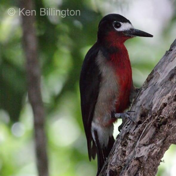 Puerto Rican Woodpecker (Melanerpes portoricensis)