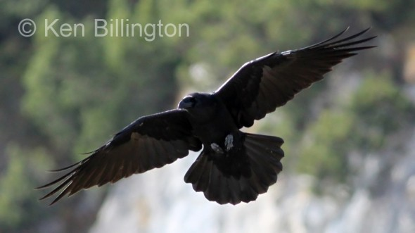 Common Raven (Corvus corax) (1)