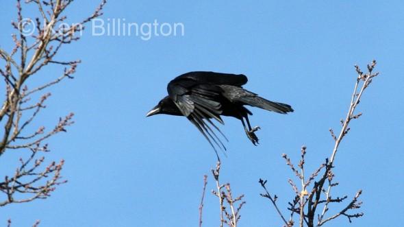 Common Raven (Corvus corax) (7)