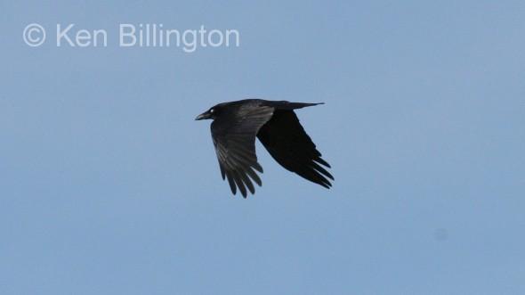 Common Raven (Corvus corax) (9)
