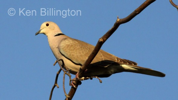 Ringed Turtle Dove (Paloma Collarina)