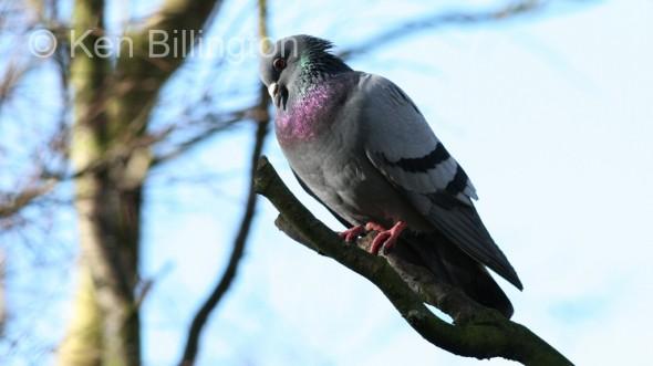 Rock Pigeon (Columba livia) (01)