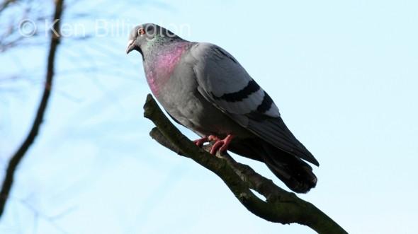 Rock Pigeon (Columba livia) (2)