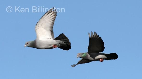 Rock Pigeon (Columba livia) (3)