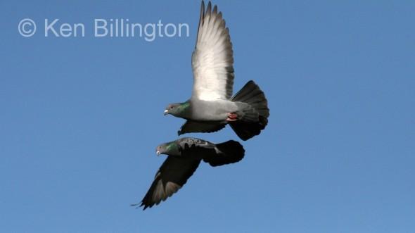 Rock Pigeon (Columba livia) (4)
