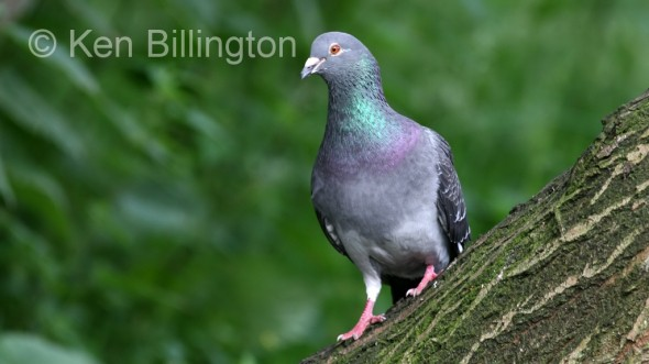Rock Pigeon (Columba livia)