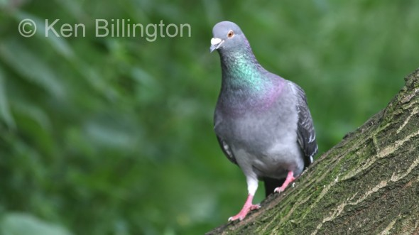 Rock Pigeon (Columba livia) (7)