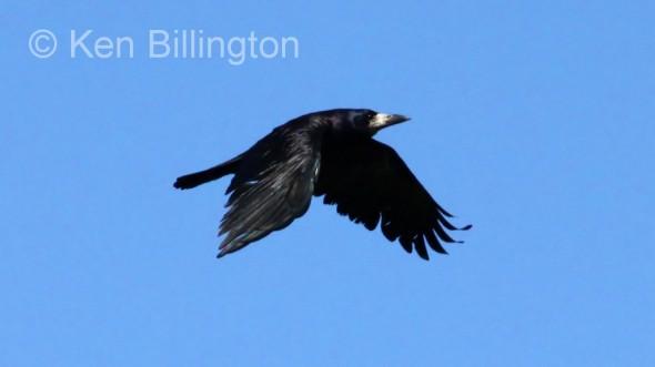 Eurasian Rook (Corvus frugilegus)