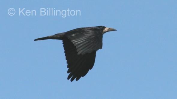 Eurasian Rook (Corvus frugilegus) (03)