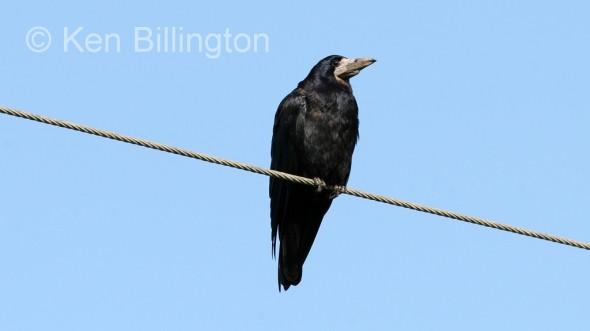 Eurasian Rook (Corvus frugilegus) (05)