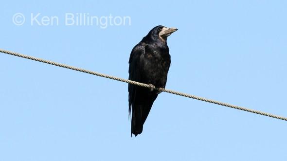 Eurasian Rook (Corvus frugilegus) (06)