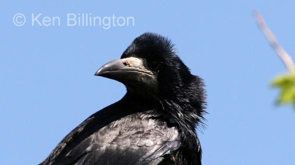 Eurasian Rook (Corvus frugilegus) (08)