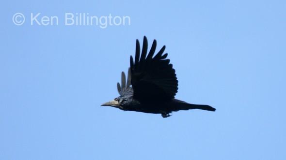 Eurasian Rook (Corvus frugilegus) (09)