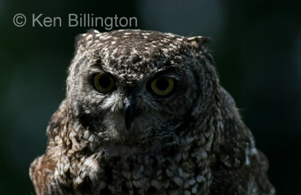 Spotted Eagle-owl (Bubo africanus) (3)
