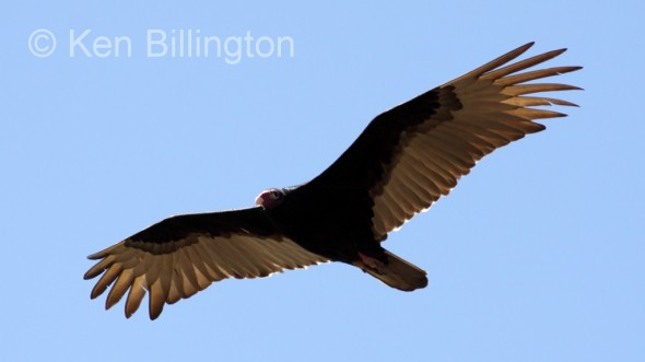 Turkey Vulture (Cathartes aura) (7)