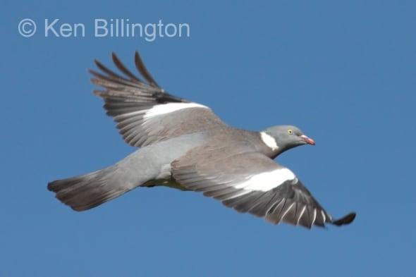 Wood Pigeon (Columba palumbus) (13)