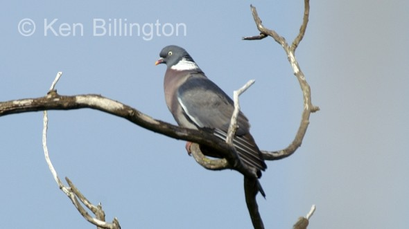 Wood Pigeon (Columba palumbus) (3)