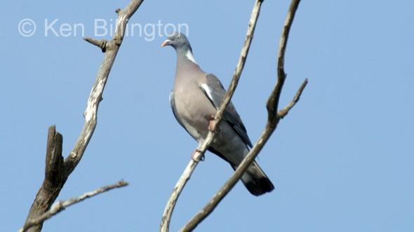 Wood Pigeon (Columba palumbus) (5)
