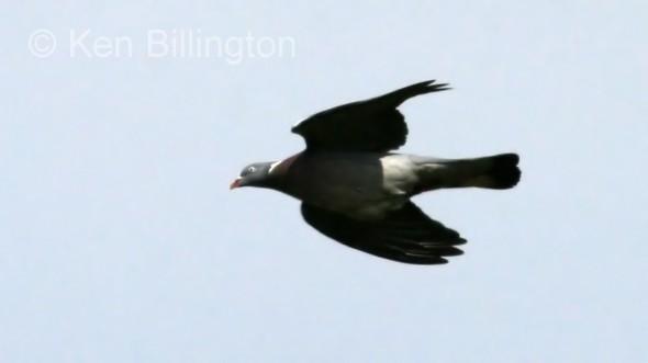Wood Pigeon (Columba palumbus)