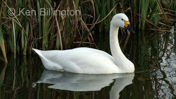Bewick swan (Cygnus columbianus)