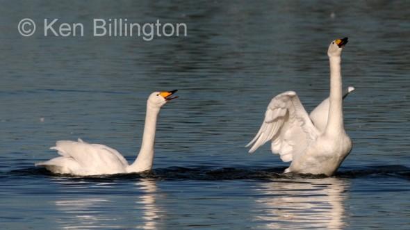 Whooper Swan (Cygnus cygnus) (1).jpg
