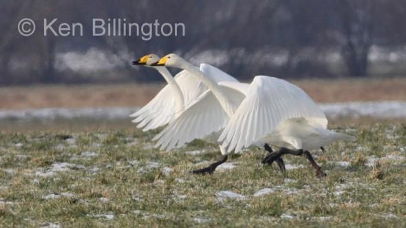Whooper Swan (Cygnus cygnus) (17).JPG