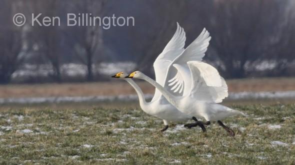 Whooper Swan (Cygnus cygnus) (19).JPG