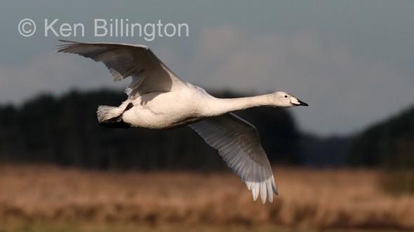 Whooper Swan (Cygnus cygnus) (2).jpg