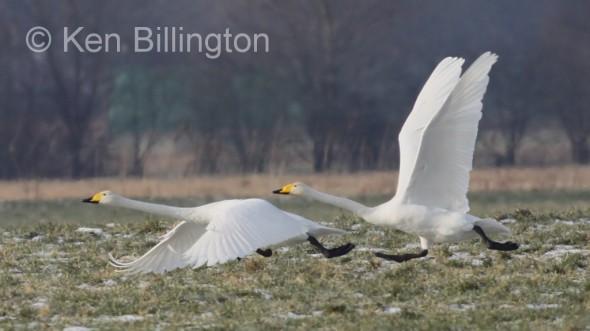 Whooper Swan (Cygnus cygnus) (21).JPG