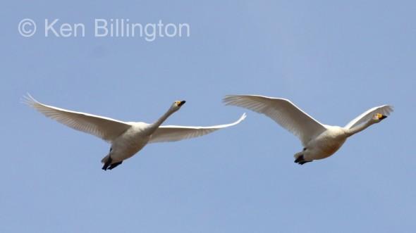 Whooper Swan (Cygnus cygnus) (27).JPG