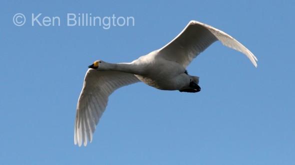 Whooper Swan (Cygnus cygnus) (3).jpg
