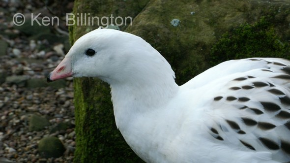 Andean Goose (Chloephaga melanoptera)