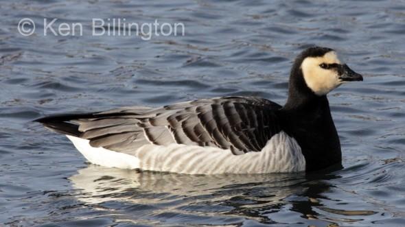 Barnacle Goose (Branta leucopsis) (3).jpg