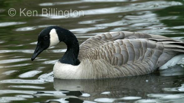 Canada Goose (Branta canadensis) (10).JPG