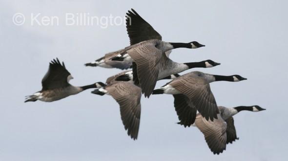 Canada Goose (Branta canadensis) (5).jpg