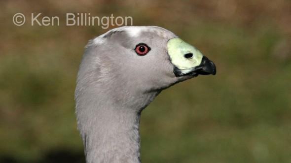 Cape Barren Goose (Cereopsis novaehollandiae) (1).jpg