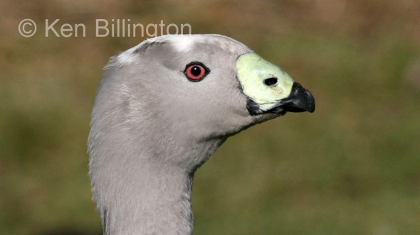 Cape Barren Goose (Cereopsis novaehollandiae)