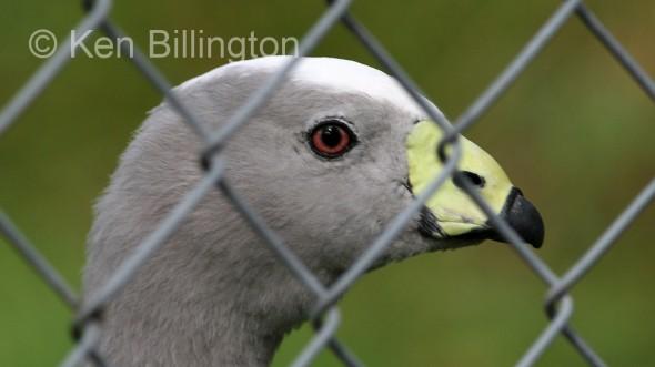Cape Barren Goose (Cereopsis novaehollandiae).jpg