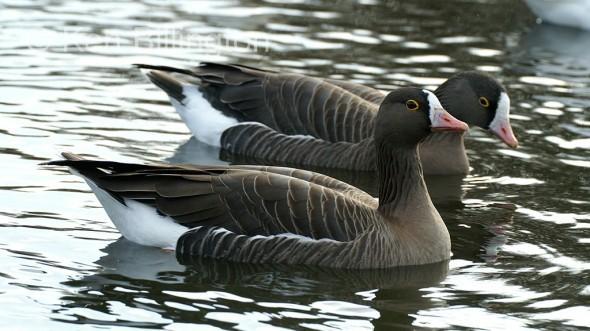 Lesser white fronted goose (Anser erythropus)
