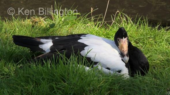 Magpie-goose (Anseranas semipalmata) (5).JPG