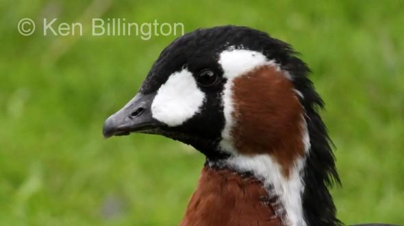 Red-Breasted Goose (Branta ruficollis)