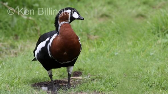 Red-Breasted Goose (Branta ruficollis) (3).JPG