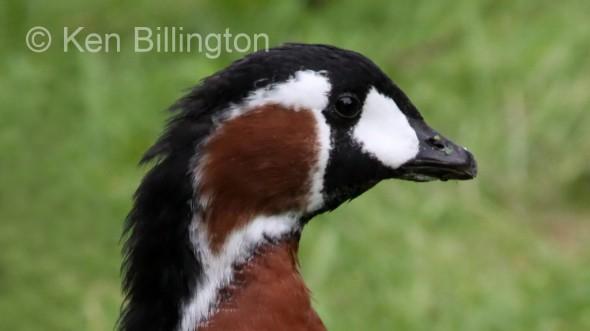 Red-Breasted Goose (Branta ruficollis) (4).JPG