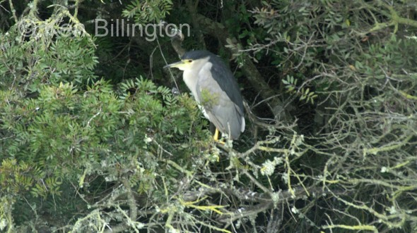 Night Heron ( Nycticorax nycticorax) (01)