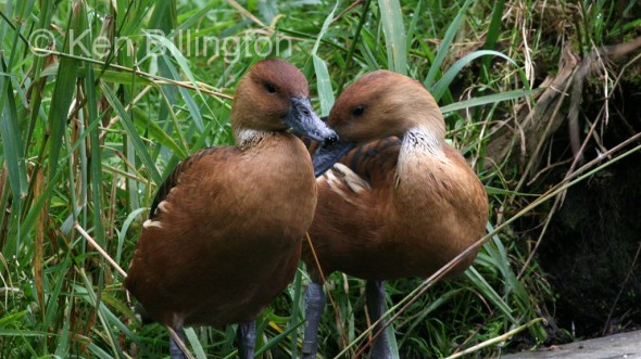 Fulvous Whistling Duck (Dendrocygna bicolor)