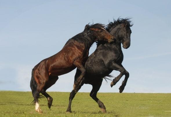 Fighting Stallions by  Lori Huff