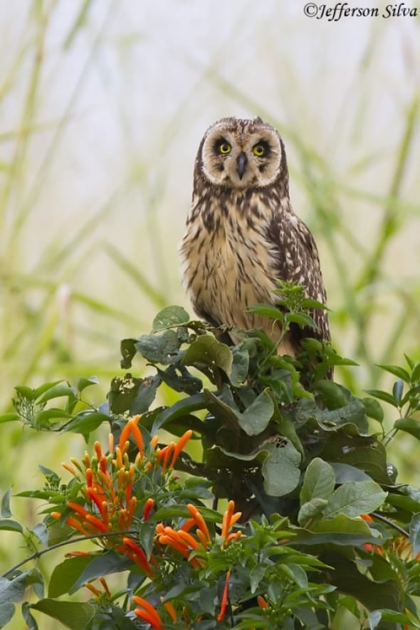 Short-eared Owl - 2