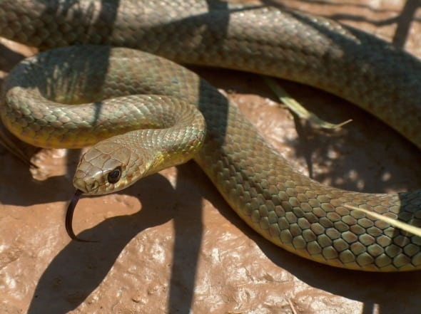 Yellow-bellied Racer by Tim McCarthy