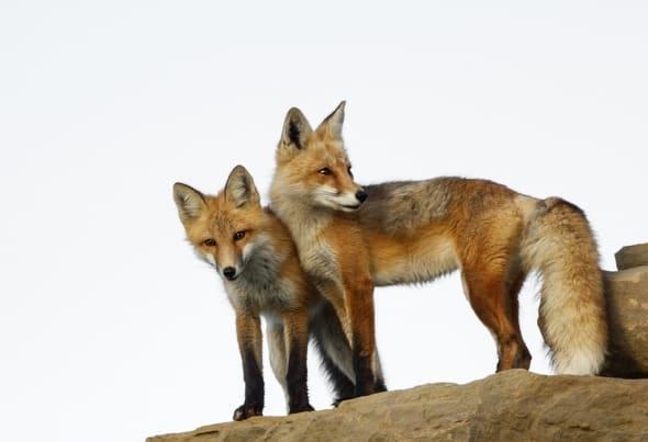 Red Fox by Walter Nussbaumer